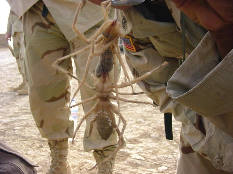 Camel Spiders in the Middle East